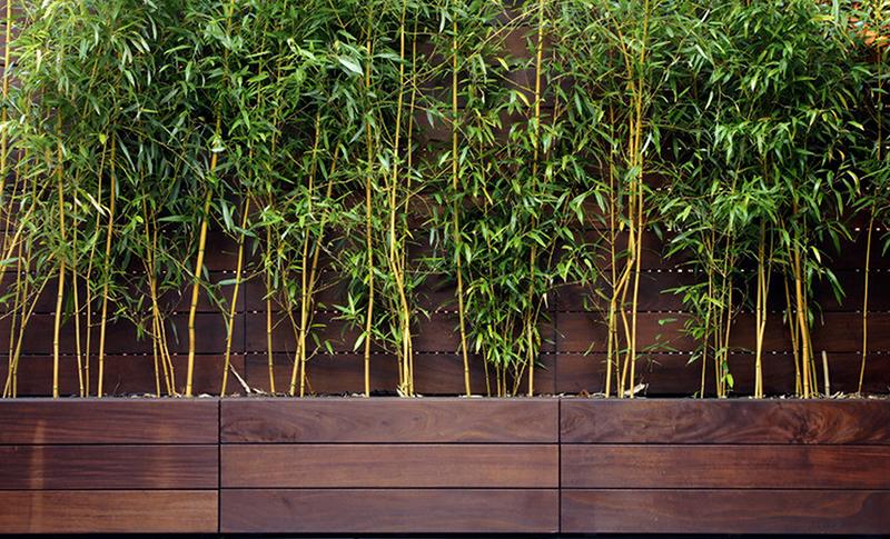 Bambous dans pots